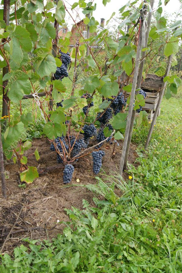 Виноград память домбковской как сажать 49
