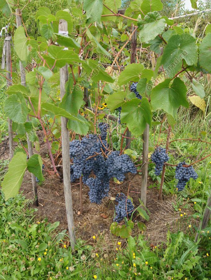 Виноград память домбковской как сажать 79